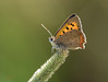 44 small copper - Best2017 (Neil Phillips) Tags: american essex greenbackground insecta lycaenaphlaeas lycaenids rspbreserve rainhammarshes smallcopper antennae arthropod arthropoda black brown bug butterfly common eyes fullbody gossamerwinged grass green grey head hexapod infield insect invertebrate legs meadow mouth onpath onstem orange perched plant scales spots underside underwing wholeanimal wing yellow