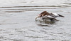 AA2I7650 (Ashala Tylor Images) Tags: bird merganser fishing duck water lake sanluisobispo atascaderolake atascadero