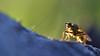 the first flyday of 2018 (conall..) Tags: scathophaga stercoraria scathophagastercoraria yellowdungfly goldendungfly scathophagidae closeup raynox dcr250 macro fly nikonafsnikkorf18glens50mm golden leg backlight backlit intothelight
