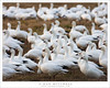 On Alert (G Dan Mitchell) Tags: ross's geese flock white nature migratory birds alert raise heads mnwr behavior wildlife california winter usa north america sanjoaquin central valley