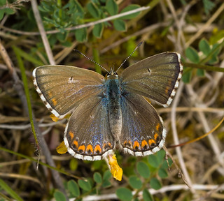 Brown Argus butterfly (Aricia agestis)...