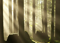 Sun and Fog (Kristian Francke) Tags: december sun sunny forest landscape beautiful sunrays sunbeams outdoors green yellow tree trees woods nature bc canada