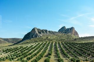 Olive plantation around Granada