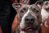 IMG_0161 (oemilio16) Tags: perro dog doggy perros perrito mexico canon calle cdmx ladrar ladrando puppy puppies mark2 5dm2 5dmii yongnuo pitbull df mascotas