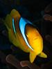 El Quseir Anemonefish II (altsaint) Tags: 45mm egypt elquseir gf1 panasonic redsea roots anemonefish coral fish macro scuba underwater