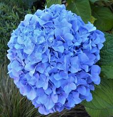 San Francisco, CA, Noe Valley, Blue Hydrangea Flower Macro (Mary Warren 11.3+ Million Views) Tags: sanfranciscoca noevalley nature flora plant blue macro blooms blssoms flowers hydrangea