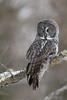 Great Gray Owl (jrlarson67) Tags: owl bird raptor saxzim bog minnesota great grey gray