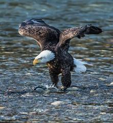 Bald Eagle (Peter Bangayan) Tags: baldeagles canon nooksack river birdsofprey birds wildlife nature deming washington ef500mmf4lisusm 1dx