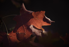 Autumn Leaves 9 (karl_eschenbach) Tags: macro autumn fallcolors nature newmexico nm albuquerque bigtoothmaple