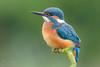 Kingfisher - juvenile (Alcedo atthis) (benstaceyphotography) Tags: alcedoatthis kingfisher plumage scotland wildlife nature bird wild hide feathers nikon 500mmf4vr d800e juvenile