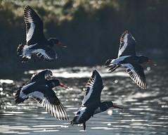 This way! (18Ningwood) Tags: isleofwight wildlife birds hersey