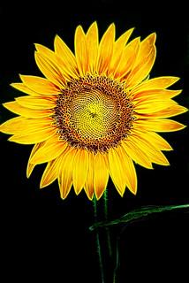 Perfect Sunflower-Fractalius 6-0 F LR 7-22-17 J108