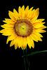 Perfect Sunflower-Fractalius 6-0 F LR 7-22-17 J108 (sunspotimages) Tags: flower flowers sunflowers sunflower yellowsunflowers yellowflowers yellowflower yellow yellowsunflower nature fractalius digitalmanipulation artistic artwork
