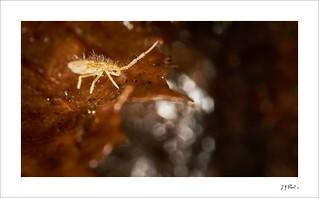 Collembole   Entomobryinae or Paronellinae.