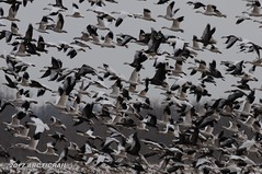 Disturbed (arcticrail) Tags: vandalia il illinois birds snow goose geese flock migration