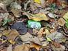 P1070797 (Wampa-One) Tags: fentonmo heineken greenglass broken beer bottle leaves woods redstar