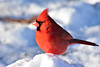 DSC_9192B (The Real Maverick) Tags: torontoparks toronto ontario canada highpark outdoor winter winterscenes nikon cardinal