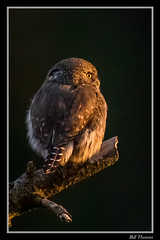 Northern Pygmy Owl in setting sun-1 (billthomas_steel) Tags: northernpygmyowl owl glaucidiumgnoma britishcolumbia bird raptor canon canada eos7dmarkii wildlife winter owlsofthepacificnorthwest