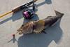 田代島 アイナメ (GenJapan1986) Tags: 2017 アイナメ 宮城県 田代島 石巻市 釣り 離島 日本 island tashirojima miyagi japan fujifilmx70 fishing fish