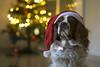 Santa's helper// El ayudante de Santa (Mireia B. L.) Tags: dog perro cavalierkingcharlesspaniel christmasdog cavalierkingcharles mascota christmasdogportrait christmas2017 navidad pentacon50mm pentacon18