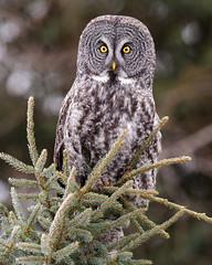 Look into my eyes (jrlarson67) Tags: great gray grey owl portrait raptor strix nebulosa chouette lapone cendrée minnesota nikon d810 bird tree forest wildlife nature animal green yellow