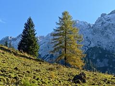 Lärche, european larch, Larix decidua (Michael Keyl) Tags: alpen alps berge mountains herbst autumn österreich kufstein kaisergebirge wilderkaiser zahmer kaisermountain outdoor landscape hiking wandern herbstfarben colorsofautumn