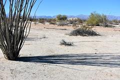 Long shadows (thomasgorman1) Tags: ocotillo plant cactus desert nikon nature shadow shadows afternoon sunlight ground dirt
