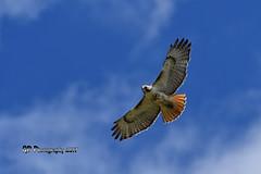 Red-tailed Hawk DSC_1703 (Ron Kube Photography) Tags: bird birds hawk hawks nature fauna ornithology raptor birdofprey redtailed redtailedhawk alberta canada southernalberta nikon nikond500 d500 ronaldok globalbirdtrekkers buteojamaicensis ronkubephotography