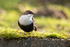 White-throated dipper / Zwartbuikwaterspreeuw (Wim Hoek) Tags: birds 2017 amsterdamsewaterleidingduinen zwartbuikwaterspreeu​w december bird birdsinthewild cincluscincluscinclus europeandipper nationalparks naturereserves natuurgebieden parks vogels whitethroateddipper dipper vogelenzang noordholland netherlands nl