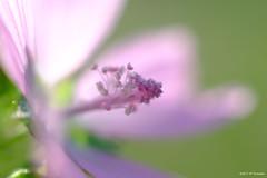 Une douceur de l'été 2017 (jpto_55) Tags: fleur pistil boheh macro xe1 fuji fujifilm omlens om50mmf2macro tarn france ngc