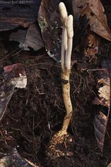 Beetle grub with Cordyceps infection (pbertner) Tags: amazon cordyceps ecuador fungus infection parasitization rainforest sanilodge saniproject2017 yasuninationalpark zombie