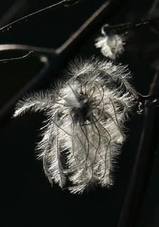 Gemeine Waldrebe - Clematis vitalba - old man's beard