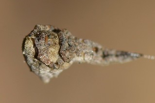 Cribellate Orb Weaver spider (Hyptiotes gertschi, Uloboridae) showing its cribellum