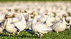 Snow Geese visiting Fir Island, Skagit Valley Washington (Hawg Wild Photography) Tags: snow geese goose fir island skagit valley county conway washington bird nature wildlife terrygreen nikon d850 sigma 150600mm contemporary hawg wild photography