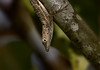 Common lizzard (Millie (On and Off)) Tags: commonlizard lizard reptile branch animal nature outdoors puertorico animalplanet