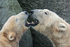Noordje en Lale (K.Verhulst) Tags: noordje lale ijsberen ijsbeer beren polarbears polarbear bears emmen wildlandsadventurezoo wildlands