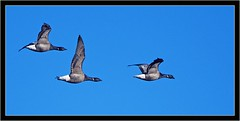 BRENT GEESE (PHOTOGRAPHY STARTS WITH P.H.) Tags: brent geese bowling green marsh devon nikon d500