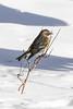 Backyard Visitor (norasphotos4u) Tags: canon5dmkiv canonef100400f4556iiusm winter ©noraleonard birds social warbler flickr snow