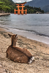 Miyajima Deers (21mapple) Tags: deer deers miyajima island japan japanese hiroshima