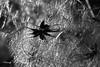 ombre et lumière-1Wenn das Licht es der Dunkelheit erlaubt sich auszudrücken, denn Schönheit entstehen kannt! (FLOCVROFF) Tags: licht lumiere light dunkelheit darkness ombre shapes nature macro 50mm proxi winter bokeh bw bokehnature noiretblanc