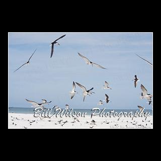skimmers flight
