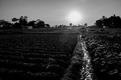 To the Light! (Ajwad Mohimin) Tags: people workers workplace farmland farm paddy golden harvest bangladesh bangladeshi