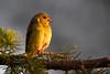 "American Goldfinch (dennis_plank_nature_photography) Tags: americangoldfinch spinustristis ephemeris says sunrise was 546 direct side lighting for blinfirst lightbirdwawashingtonavesavianbirdslittlerockprairie""thurston county""""avian photography""""bird photography""""nature photography""""south sound prairies""ephemeris blind"