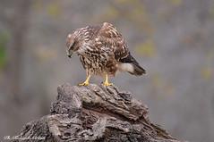 Poiana _012 (Rolando CRINITI) Tags: poiana uccelli uccello birds ornitologia rapaci cisliano natura