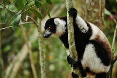 Black and White Ruffed Lemur (Varecia variegata)_ (Susan Roehl) Tags: madagascar2017 islandofmadagascar offtheeastcoastofafrica palmariumreserve akaninnynofy blackandwhiteruffedlemur vareciavariegata verysocial liveingroups animal mammal criticallyendangered arboreal diurnal activeduringday eastsideofisland eatsfruit flowers nectar seeds sueroehl photographictours naturalexposures panasonic lumixdmcgh4 35x100mmlens handheld slightlycropped tree wood rainforest ngc