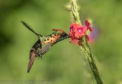 Tufted Coquette Hummingbird, male (N2NATURE PHOTOGRAPHY) Tags: tufted coquette trinidad asa wright nature center flight