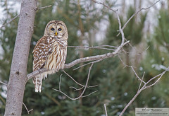 Barred owl (eric marceau) Tags: owl barred winter quebec canada