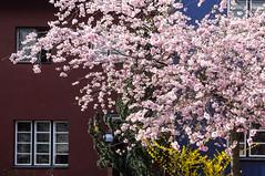 some colors (rooibusch) Tags: cherryblossom kirschblüten zierkirschen hufeisensiedlung berlin frühling spring