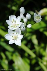 white (Javiera C) Tags: santiago chile rural countryside campo flora flor flower vegetación plant planta vegetation vegetal white blanco