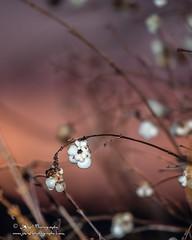 Snowberry-Symphoricarpos albus caught at Sunset-7670 (George Vittman) Tags: berry winter white snowberry sun sunset orange blue nature wildlife jav61photography jav61 photography nikon passion nikonpassion